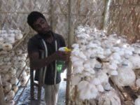 Akram nursing his mushrooms